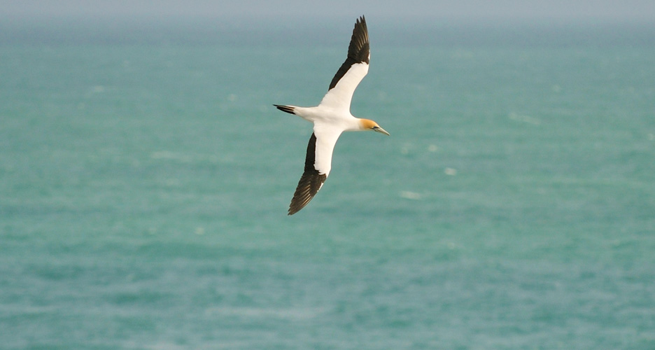 Walk to the famous Muriwai Gannet Colony
