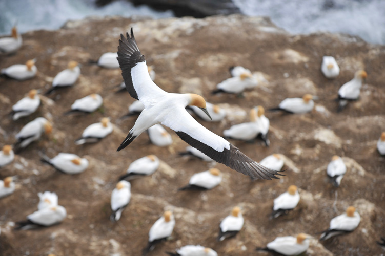 Muriwai Beach Gannet Colony