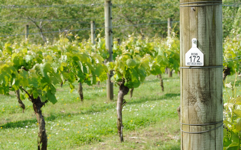 Tour our local Muriwai vineyards