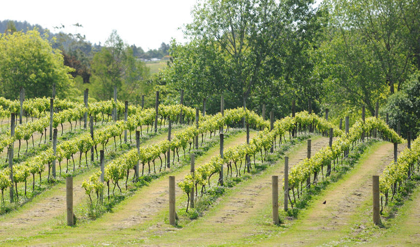 Muriwai vineyards
